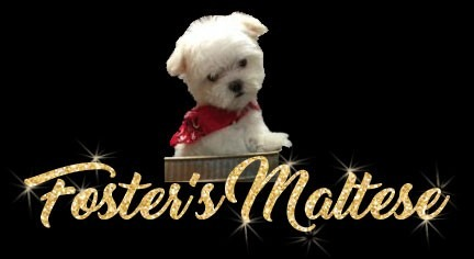 Fosters Maltese